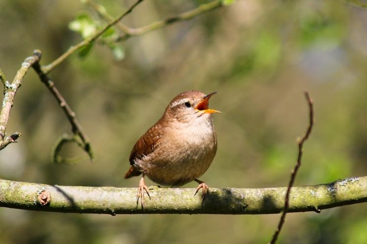 wren-singing-leighton-moss